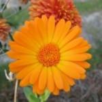 A gyógyító körömvirág