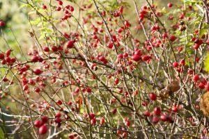 csipkebogyó - Tavaszi méregtelenítés gyógynövényekkel